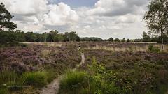 Blooming heather on the Rucphense Heide, The Netherlands (Ruud.) Tags: ruudschreuder fe 2870mm f3556 oss sony7m2 sony sony7 alfa alpha alpha7 sonyalfa sonyalpha ilce7m2 sonyalphadslr noordbrabant brabant roosendaal brabantslandschap northbrabant netherlands landschap landscape paysage nederland holland niederlanden paybas holanda hollandslandschap dutchlandscape rucphen rucphenseheide heide heath paars bloei blooming heather