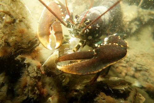 2017-08-02b--003 Europese Zeekreeft (Homarus gammarus) - Wemeldinge