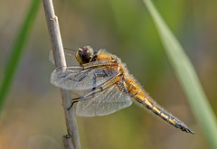 JWL1612  Chaser.. (jefflack Wildlife&Nature) Tags: fourspottedchaser chaser insects insect dragonflies dragonfly libellula odonata wildlife wetlands woodlands glades copse countryside lakes nature