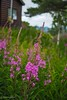 Fireweed (Yorkey&Rin) Tags: 2017 em5markii fireweed japan july lumixg20f17 nagano olympus rin sugadaira summer ua240011 ヤナギラン 夏 高山植物 菅平 長野県