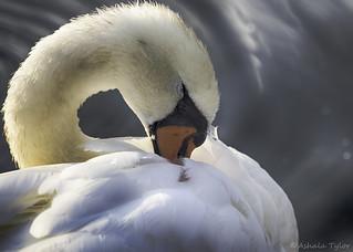 0391-1 Swan  (EXPLORED 9-5-17)