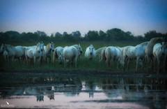 White Horses At The Sunrise (pbmultimedia5) Tags: camargue white horse band day break field nature wildlife france pbmultimedia regional park wetland delta rhone river