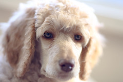 The many faces of Willow (2/6) (geemuses) Tags: willow puppy poodle standardpoodle dog pet canine cute beautiful young nature animal canon canoneos6d