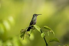 Hummingbird - Beija-Flor (sostenesmonteiro) Tags: hummingbird beijaflor bird birds nature natureza d5200 natures animal animais passaro passaros passarinho passarinhos sostenesmonteiro totecmt tote