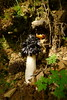 P1120212 (Xavier Béjar) Tags: elcatllar ripollès vilallongadeter phallusimpudicus fungi taxonomy:kingdom=fungi taxonomy:phylum=basidiomycota basidiomycota taxonomy:class=agaricomycetes agaricomycetes taxonomy:order=phallales phallales taxonomy:family=phallaceae phallaceae taxonomy:genus=phallus phallus taxonomy:species=impudicus taxonomy:binomial=phallusimpudicus oudeldiable stinkhorn woodwitch весёлкаобыкновенная gemeinestinkmorchel commonstinkhorn satyrepuant פיניתמבאישה taxonomy:common=oudeldiable taxonomy:common=stinkhorn taxonomy:common=woodwitch taxonomy:common=весёлкаобыкновенная taxonomy:common=gemeinestinkmorchel taxonomy:common=commonstinkhorn taxonomy:common=satyrepuant taxonomy:common=פיניתמבאישה inaturalist:observation=7435292