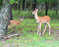 008508112017a (bassgal71/Sarah Rodefeld) Tags: deer wildlife nature wilderness fawn spotted hugolakestatepark oklahoma sarahrodefeld spotteddeer babydeer