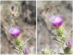 Moth and Thistle (magnetic_red) Tags: moth flying thistle flower wildlife nature twopanel outdoors