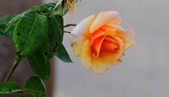 Rosa (ameliapardo) Tags: rosas flores plantasfloresyplantas jardines naturaleza sevilla andalucia españa fujixt1