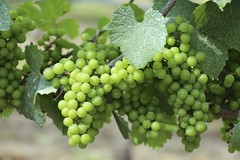 Grapes on the Vine (Read2me) Tags: capecod trurovineyard green plant fruit many cye friendlychallengeswinner grapes perpetualchallengewinner thechallengefactory agcgwinner challengeclubwinner pregame winner challengegamewinner gamesweepwinner x2