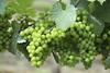 Grapes on the Vine (Read2me) Tags: capecod trurovineyard green plant fruit many cye friendlychallengeswinner grapes perpetualchallengewinner thechallengefactory agcgwinner challengeclubwinner pregame winner challengegamewinner gamesweepwinner x2