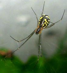 Filmy Dome Spider (adamantine) Tags: spider araneae linyphiidae nerieneradiata