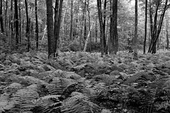 Fern carpet (Richard-) Tags: hiking paradiselane fujix100f highcontrast fern bearmountain appalachiantrail applephotos