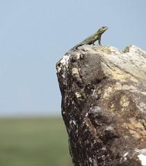 Tropidurus itambere3 (Conexão Selvagem) Tags: observaçãodeaves serra canastra parque nacional cerrado aves bird wildlife galito rapina gavião