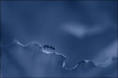 Gratwanderung / Tightrope Walk (HikerandBiker) Tags: ameise ant background blattrand blau blue blur bokeh hibiskus hintergrund ilca99m2 macro makro sony sonya99ii sonyalpha99ii tamronsp90mmf28dimacro11usd unscharf unschärfe