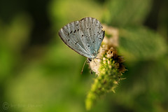 The Holly & the Mint! (Jay Bees Pics) Tags: hollyblue butterfly mint herb insect garden calver derbyshire macro 2017 ngc npc magicunicornverybest coth coth5
