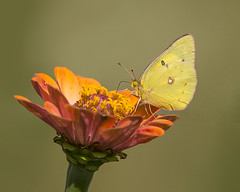 Orange Sulphur on late blooming Zinnia (Thomas Muir) Tags: coliaseurytheme orangesulphur tommuir ohio perrysburg woodcounty butterfly insect outdoor nikon d800 200400mm