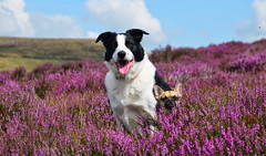 I can see over the heather too (lisheeny) Tags: chihuahua border collie dogs pet animal canine littledoglaughedstories
