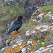Chough (Steve Lane - Birds and Wildlife) Tags: