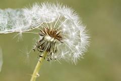 Wishes. (Sandra Londono) Tags: dandelion dentdelion dientedeleon wishes weeds medicinalplant