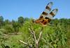 Halloween Pennant (scott_clark) Tags: halloweenpennant celithemiseponina wideanglecloseup wideanglemacro dragonfly odonata insect wildlife animal nature virginia pocahontasstatepark