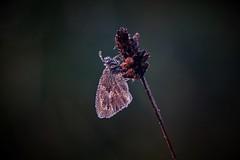 Dew (peeteninge) Tags: dew dauw butterfly vlinder nature natuur sonyrx10 sony