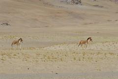 IMG_0356 (y.awanohara) Tags: tibet wildlife scenery ngari may2017 donkeys khyang tibetanwilddonkeys
