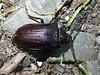 Sägebock - Prionus coriarius - Weibchen, NGID85812753 (naturgucker.de) Tags: ngid85812753 naturguckerde sägebock prionuscoriarius 915119198 92636685 1081737710 chorstschlüter