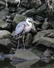Eager great blue heron watches the fish-filled creek (Victoria Morrow) Tags: