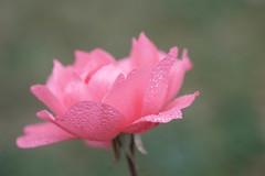 Fresh rose (christophe.laigle) Tags: rose bokeh xf60mm nature flower fraîcheur droplets christophelaigle freshrose drops macro pink fuji gouttes xpro2 pluie fleur