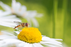 Oxeye Hoverfly (oandrews) Tags: 30dayswild canon canon70d canonuk episyrphusbalteatus garden hoverfly insect insects invertebrate invertebrates marmaladehoverfly minibeast minibeasts nature outdoors wildlife