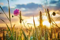 Sonnenuntergang im Kornfeld (Benni's Fotobude) Tags: ettenheim ortenau emmendingen sommer weizen kornfeld summer sundown schutter schwarzwald blackforest sommerzeit wetter flower blume landwirtschaft korn sun sonne münchweier wallburg ettenheimmünster