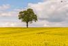 Rapeseed field (technodean2000) Tags: rapeseed field gate abergaveny mid wales uk tree nikon d610 landscape sky