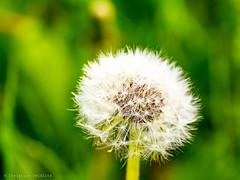 pustekuchen (seidchr) Tags: air nature flower wind summer grass white green dandelion semen 500px