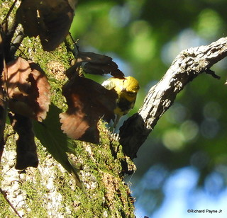 Black-throated Green Warbler_N5546