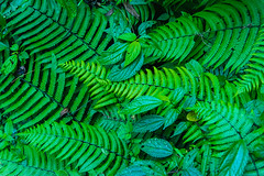 Gocha-la trek in Sikkim, India (David Ducoin) Tags: asia dzongri fern flower gochala hike himalaya india kangchenjunga nationalpark nature plant sikkim stilllife trek gangtok in