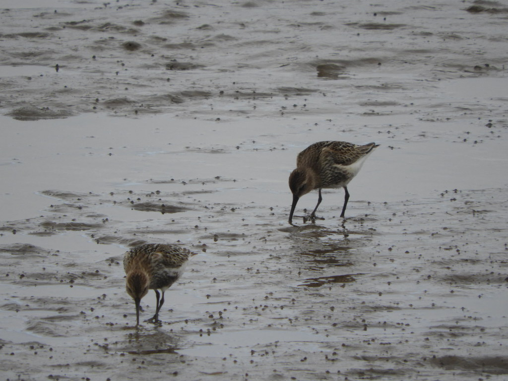 Dunlins at Meols Beach