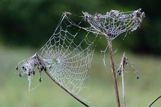 Orbwebs on umbellifer after rain