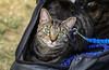 IMG_2589 (kz1000ps) Tags: boston massachusetts bostoncommon common park cats kitties kittens felines caturday purr catcafe brighton humane society adoptions