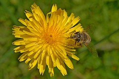 A fly seeking nectar on a common dandelion. (Bienenwabe) Tags: taraxacumofficinale taraxacum asteraceae läwenzahn fly commondandelion