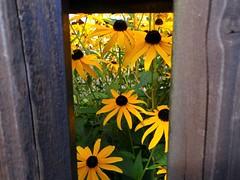 Coneflower behind the fence - HFF (frenziM´s little world) Tags: fence hff friday fencefriday yellow coneflower yellowflower