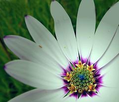 Osteospermum pistil (ronramstew) Tags: osteospermum flower {lant pistil garden forfar angus scotland