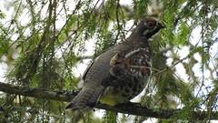 Hazel Grouse (Tetrastes bonasia) (eerokiuru) Tags: hazelgrouse tetrastesbonasia haselhuhn laanepüü bird