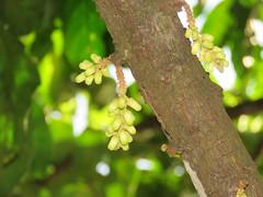 Dysoxylum cauliflorum (reuben.lim) Tags: dysoxylum cauliflorum dysoxylumcauliflorum stemdysoxylon dedali guatak pokokparong pudusawa meliaceae
