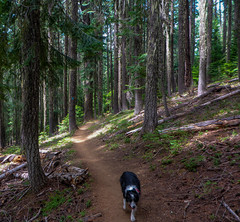 Joey on the PCT (ex_magician) Tags: trailrun skylakes wilderness trail klamathcounty oregon moik photo photos picture pictures image lightroom adobe adobelightroom pct pacificcresttrail endurancesports cascademountains backpackers sectionhiker throughhiker odelllake sheltercove joey bordercollie dog cowardlycowdog traildog bestdogforrunning bestbreedforrunning bestbreedformountainbiking thelittledoglaughed