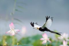 "Pheasant-tailed jacana (Hydrophasianus chirurgus) (China (Jiangsu Taizhou)) Tags: nikon d5 800mm f56 vr afsnikkor800mmf56efledvr birds 2017 pakistan birdsofpakistan wildlife birding ""shore birdbirdsbird""pheasanttailedjacana hydrophasianuschirurgus ngc nationalgeographic birdwatching birdwatcher forest lake pond shorebird bird pheasanttailedjacana"