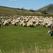 Pastores de ovelha