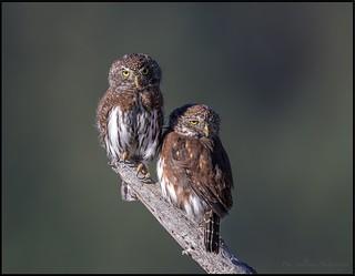 Northern Pygmy Owl's