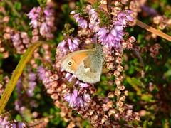 Small Heath (Coenonympha pamphilus) 01-09-17 (Nick Dobbs) Tags: insect butterfly small heath coenonympha pamphilus hampshire new forest heathland