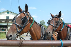Waiting. New Wilmington, PA (bobchesarek) Tags: horses amish buggy padutch rural country pennsylvania newwilmington