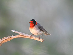 Red-faced Warbler (Digital Plume Hunter) Tags: